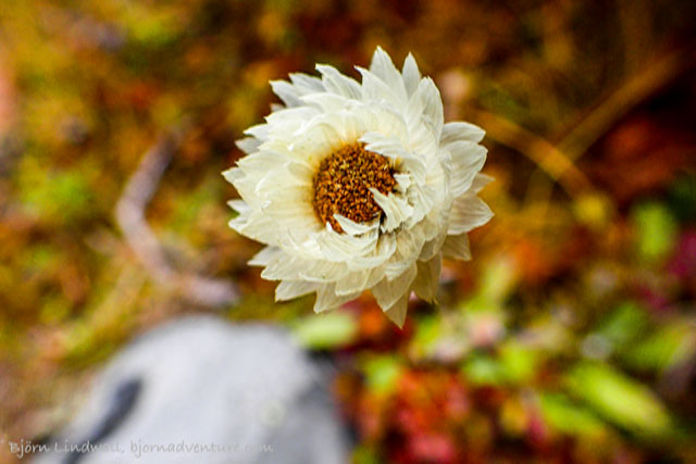 White Himalayan flower in Everest region